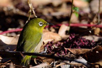 附属自然教育園で野鳥