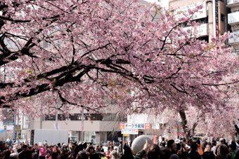 ひとつ上の桜