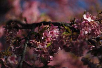 桜と鳥を撮りに行こう
