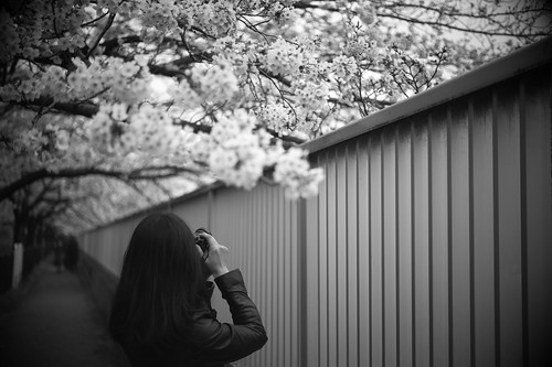 Wife taking photos of cherry blossoms