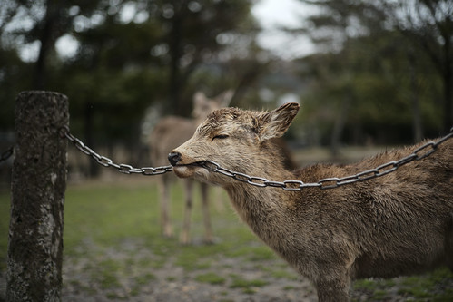 deer that does not have enough iron