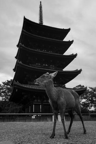 Deer and Kohfukuji five-storied pagoda