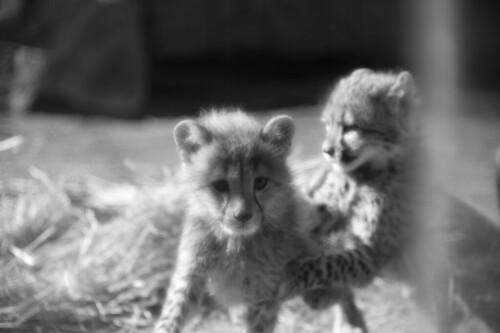 Child cheetah