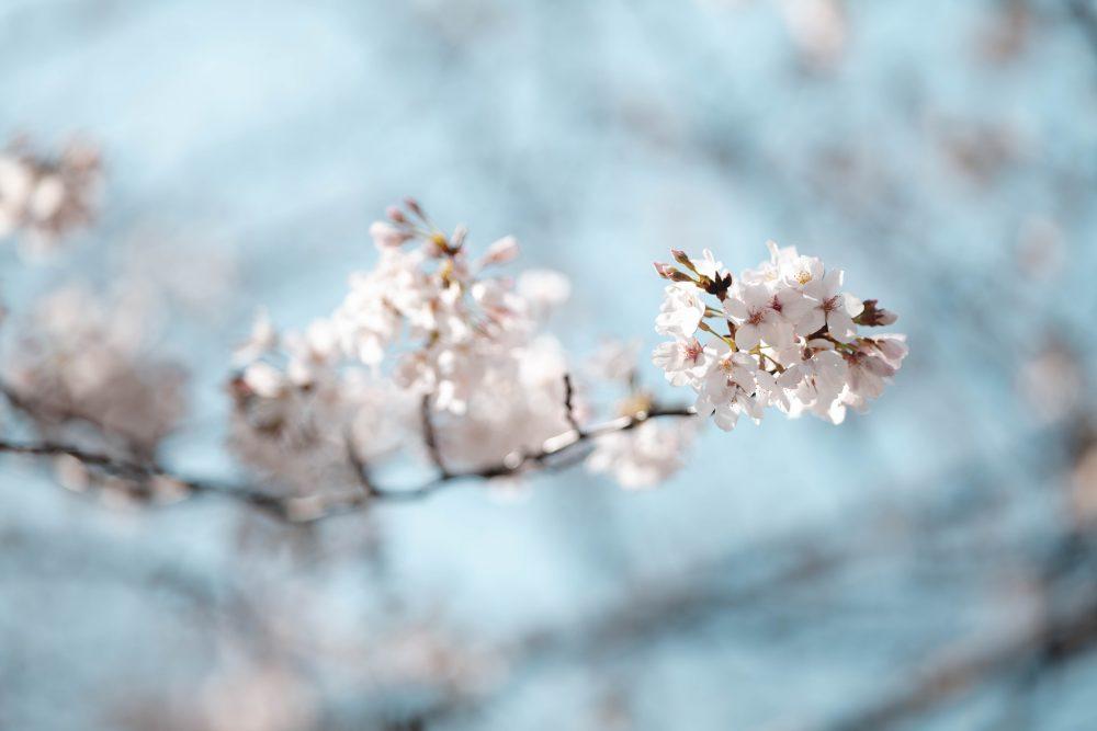 ぶらり花見